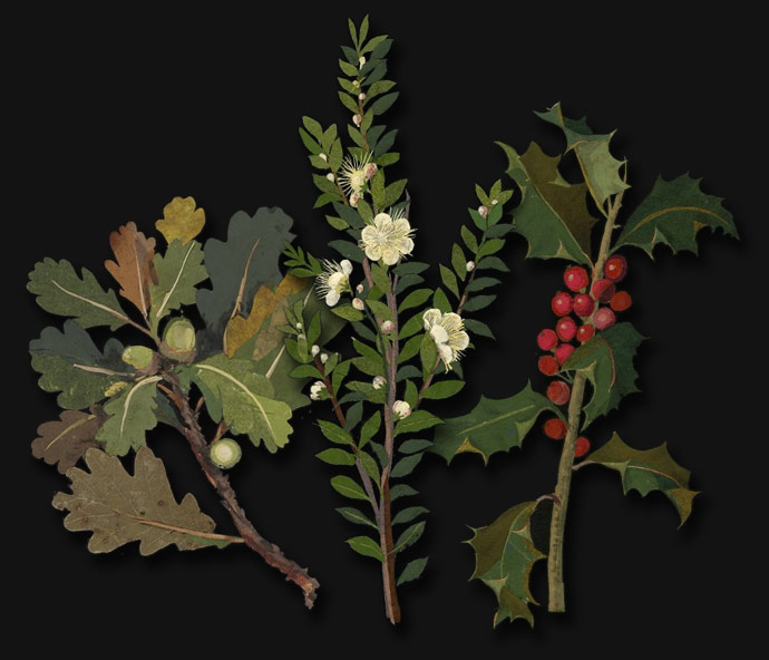 Oak, myrtle and holly