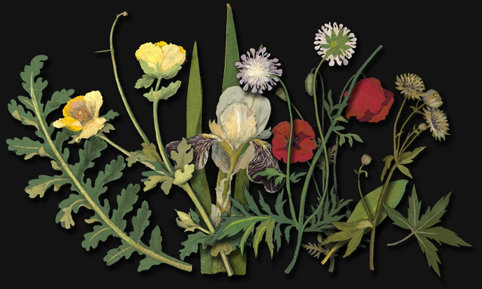 Summer: poppies, iris, scabious, Astrantia